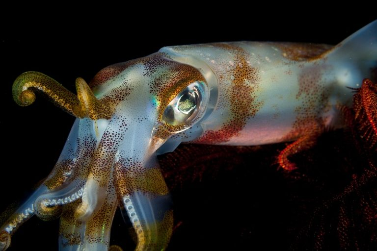 squid (Difference between Squid and Octopus)