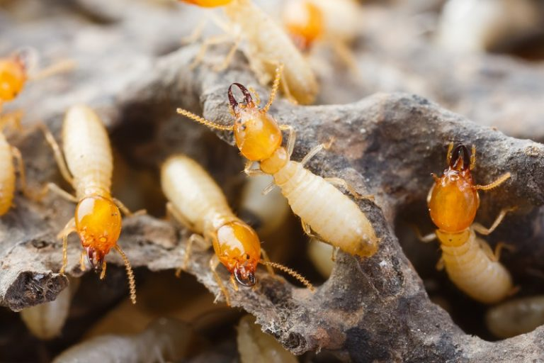 Termites (Difference between Flying Ants and Termites)