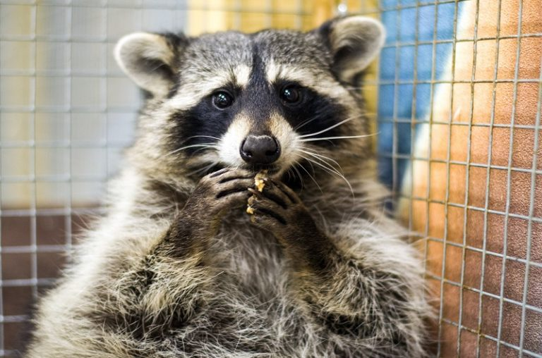 Are raccoons good pets