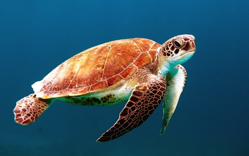 Difference Between Turtle and Tortoise