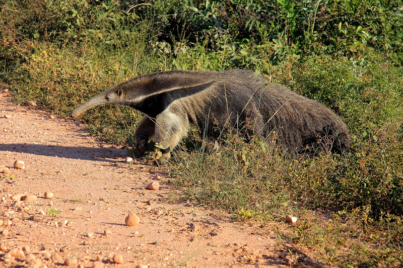 Difference Between Aardvark and Anteater