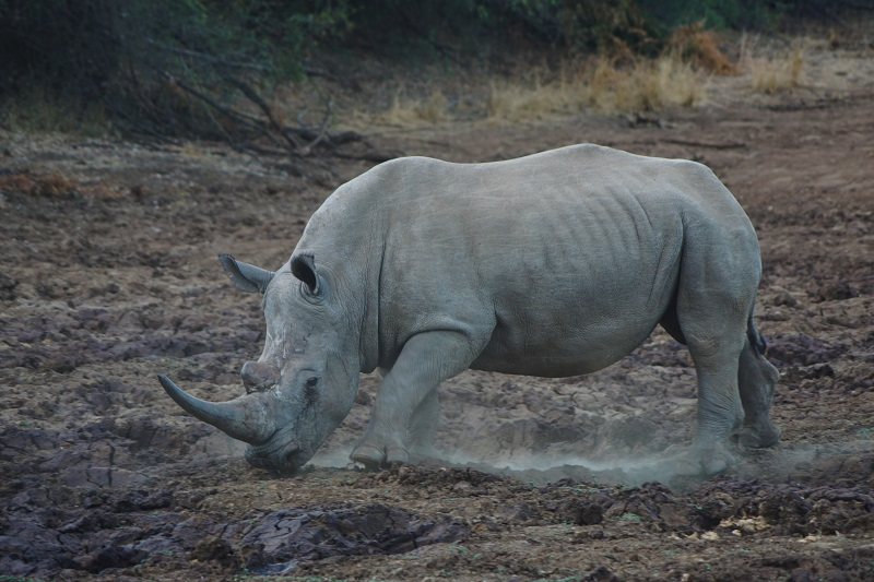 Difference Between White and Black Rhino