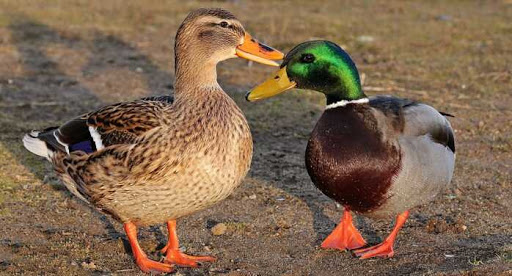 Difference Between a Mallard and a Duck