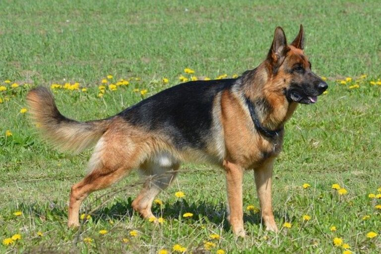 Difference Between GSD and Alsatian
