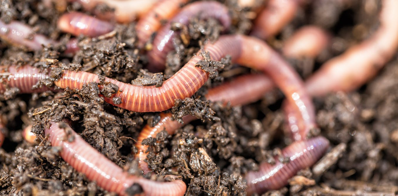 Difference between Earthworm and Leech