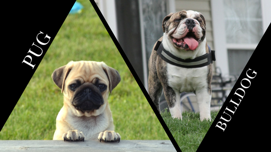 Difference between Pug and Bulldog