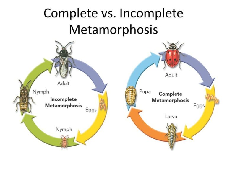 Differences between Complete and Incomplete Metamorphosis