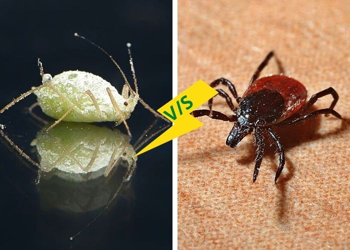 Difference between Lice and Ticks